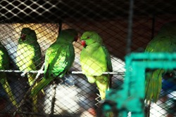 Caged young green Rose-ringed Parakeet (Psittacula krameri) on sell in one of the pet shop at Empress Market, Karachi, Pakistan.