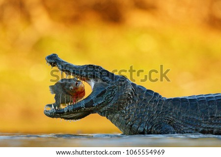caiman  crocodile with fish...