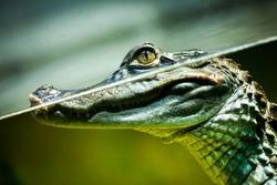 Caiman crocodilus in water ...