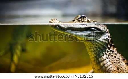 Caiman crocodilus in water ...