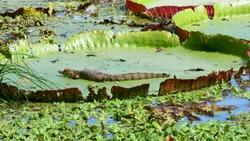 Caiman in swamp.