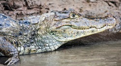 Caiman spectacled or crocodile or American, close-up on the river bank. A predatory caiman from the genus of reptiles of the alligator family is waiting for its prey with a smile.