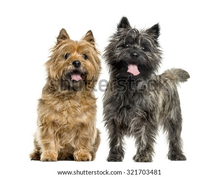 Cairn terriers in front of white background #321703481