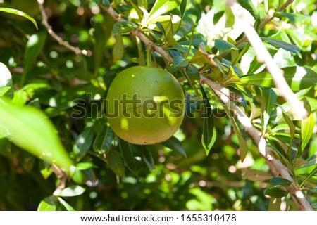 Calabash big fruit on the tree. Green background. Summer Stockfoto ©