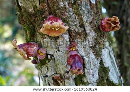 Calabash tree flowers (Crescentia cujete)                               Stockfoto ©