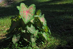 Caladium bicolor colorful leaf  in the garden, Heart shaped pink leave, Heart of Jesus