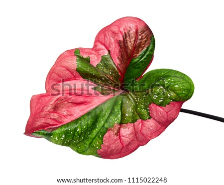 Caladium bicolor leaf or Queen of the Leafy Plants, Bicolor foliage isolated on white background, with clipping path