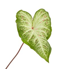 Caladium bicolor with white leaf and green veins (Gingerland caladium), Caladium foliage isolated on white background, with clipping path