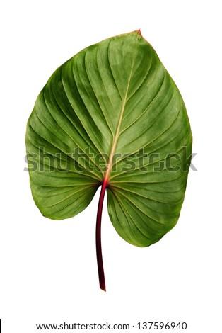 Caladium leaf isolated on white background