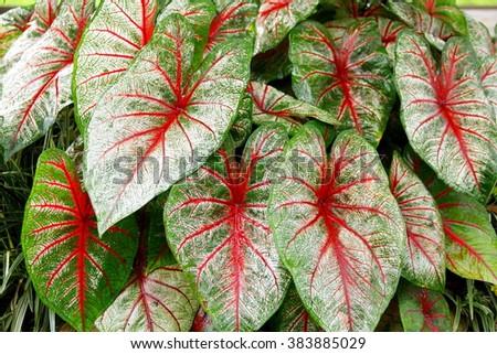 Caladium Leaves Hi Res   Close-up on tricolor caladium leaves