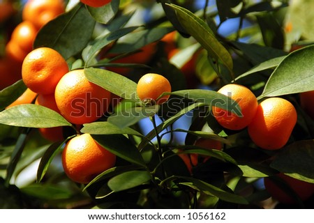Calamondin Citrus Oranges,  (X Citrofortunella mitis), native to China.