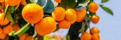 Calamondine fruits and foliage on dwarf  tree. Calamondin Citrus microcarpa, Citrofortunella microcarpa. Mandarin Orange citrus fruits grow on citrus tree. Ripe tangerines, close up
