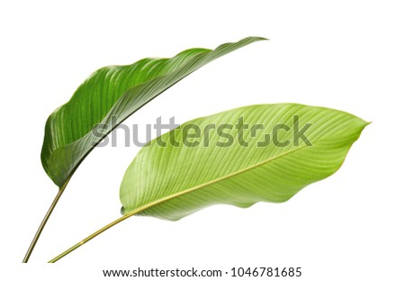 Calathea foliage, Exotic tropical leaf, Large green leaf, isolated on white background with clipping path #1046781685