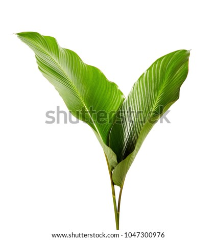 Calathea foliage, Exotic tropical leaf, Large green leaf, isolated on white background with clipping path #1047300976