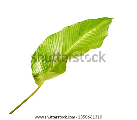 Calathea foliage, Exotic tropical leaf, Large green leaf, isolated on white background with clipping path #1350661310