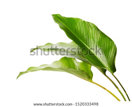 Calathea foliage, Exotic tropical leaf, Large green leaf, isolated on white background with clipping path #1520333498