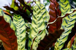Calathea lancifolia (rattlesnake plant). This plant has green leaves, heavily marked above with dark blotches, purple below. It's native to Brazil and used as a houseplant in temperate regions.