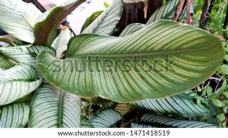 Calathea , Leaves with beautiful white stripes, plants used for indoor decoration and indoor gardening,