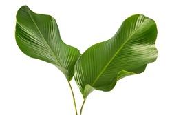 Calathea lutea foliage,(Cigar Calathea, Cuban Cigar),Calathea leaf,Exotic tropical leaf, isolated on white background.