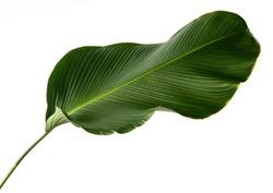Calathea lutea foliage, (Cigar Calathea, Cuban Cigar), Exotic tropical leaf, Calathea leaf, isolated on white background with clipping path.