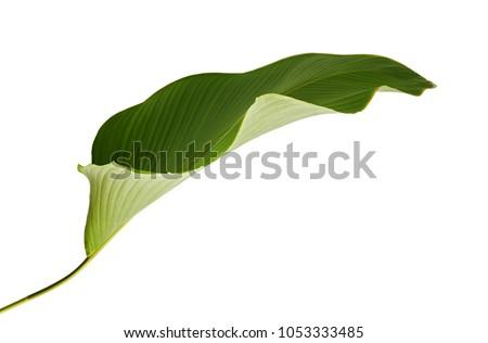 Calathea lutea foliage, (Cigar Calathea, Cuban Cigar), Exotic tropical leaf, Calathea leaf, isolated on white background with clipping path #1053333485