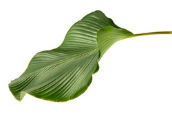 Calathea lutea leaf(Cigar Calathea, Cuban Cigar),Calathea leaf,Exotic tropical leaf, isolated on white background.
