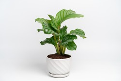 Calathea Orbifolia in white ceramic pot with isolated white background. Calathea orbifolia is a species of prayer plant native to Bolivia.