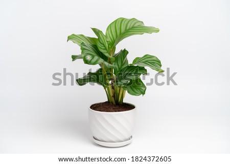 Calathea Orbifolia in white ceramic pot with isolated white background. Calathea orbifolia is a species of prayer plant native to Bolivia. Foto stock ©