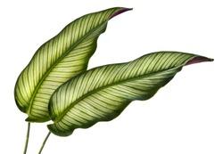 Calathea ornata leaves(Pin-stripe Calathea),Tropical foliage isolated on white background.