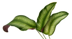 Calathea ornata leaves(Pin-stripe Calathea),Tropical foliage isolated on white background.