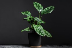 Calathea Ornata on grey ceramic pot with isolated black background. Calathea orbifolia is a species of prayer plant native to Bolivia.