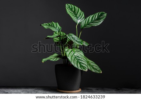 Calathea Ornata on grey ceramic pot with isolated black background. Calathea orbifolia is a species of prayer plant native to Bolivia.