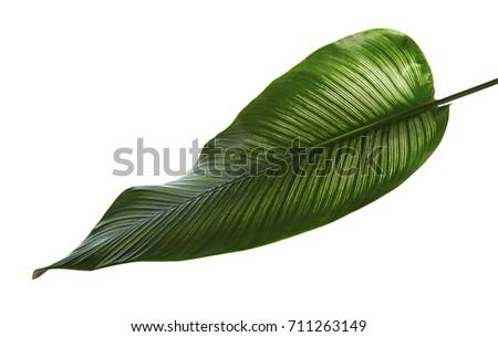 Calathea ornata (Pin-stripe Calathea) leaves, tropical foliage isolated on white background, with clipping path #711263149