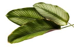 Calathea ornata (Pin-stripe Calathea), tropical foliage plant leaves isolated on white  background, with clipping path