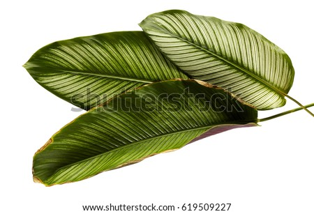 Shutterstock Calathea ornata (Pin-stripe Calathea), tropical foliage plant leaves isolated on white  background, with clipping path