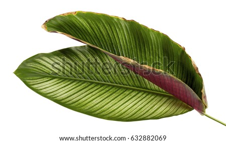 Calathea ornata (Pin-stripe Calathea), tropical foliage plant leaves isolated on white  background, with clipping path - Shutterstock ID 632882069