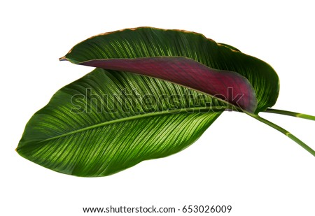 Calathea ornata (Pin-stripe Calathea), tropical foliage plant leaves isolated on white  background, with clipping path - Shutterstock ID 653026009