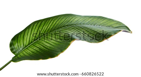 Calathea ornata (Pin-stripe Calathea), tropical foliage plant leaves isolated on white  background, with clipping path - Shutterstock ID 660826522