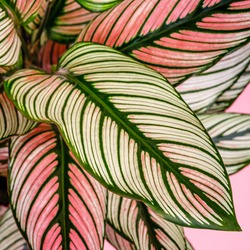 Calathea ornata, pin-stripe or pinstripe calathea 'White Star' plant leaves, close up.  Long tropical green leaf with white line. Calathea natural contrast pattern on leaves