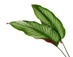 Calathea ornata tropical leaves isolated on white background.