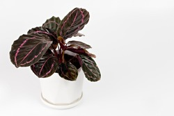 Calathea Roseopicta (Dottie) in pot isolated on white background.