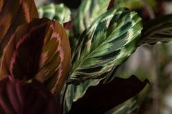 Calathea roseopicta or Calathea Medallion (rose-painted) close up. A big house plant with giant multicolored leaves creating an indoor urban jungle. Blurry background