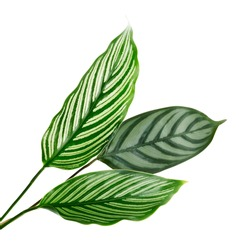 Calathea Vittata and Calathea setosa leaves, Green leaves, Tropical foliage isolated on white background, with clipping path
