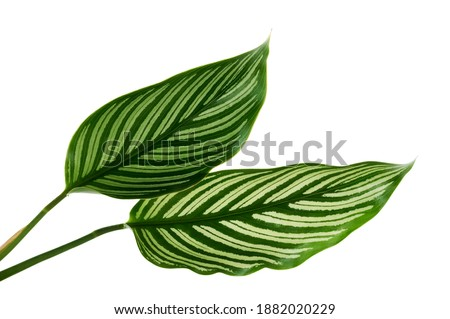Photo of  Calathea Vittata leaves, green leaf with white stripes, Tropical foliage isolated on white background, with clipping path