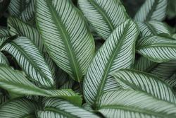 Calathea zebrina (The zebra plant) - Green leaf layer nature abstract background
