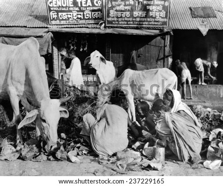 Calcutta scene at the peak of India\'s famine in late October 1943 Sacred cows and hungry human beings rummage in the same garbage pile for food.