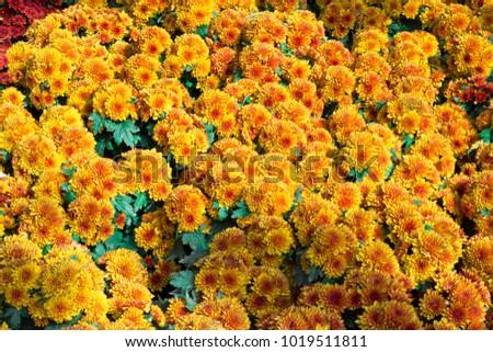 Calendula and Yellow flower in garden