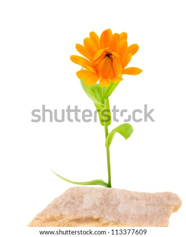 Calendula flower on a stone isolated on the white background.