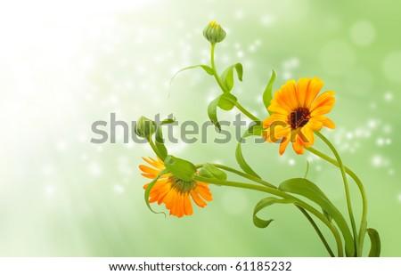 Calendula flowers in green  background