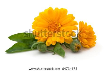 calendula flowers isolated on the white background